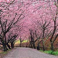 Làm thế nào Nhật Bản dự đoán chính xác ngày hoa anh đào sẽ nở?