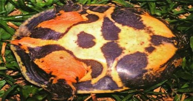 """Loài rùa """"nhọ"""" nhất: Mới tìm ra đã bị đưa ngay vào sách Đỏ, hạng mục """"đặc biệt nguy cấp"""""""