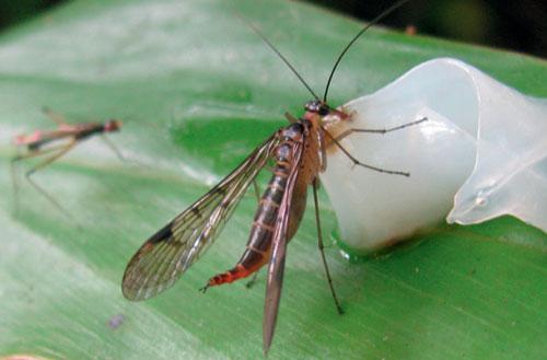 Loài mới 1 ăn mồi bẫy (cá mực) tại Vườn quốc gia Bidoup Núi Bà, tỉnh Lâm Đồng.