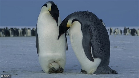 Chim cánh cụt hoàng đế đang ấp trứng