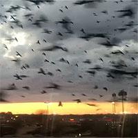Video: Kinh hoàng trước cảnh tượng hàng ngàn con chim bay phủ kín bầu trời