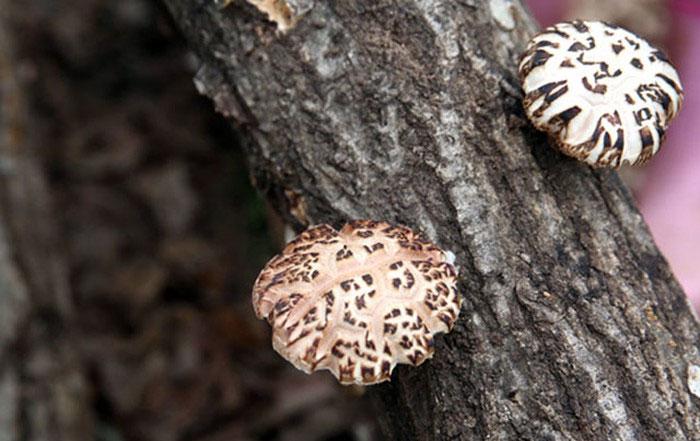 Nấm hương Nhật Bản được xem là loại nấm quý, có vị thơm ngon và chữa được nhiều bệnh