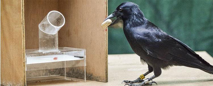 Giống quạ New Caledonia từ lâu đã thể hiện những hành vi cho thấy trí tuệ vượt trội so với các loài chim nói chung.