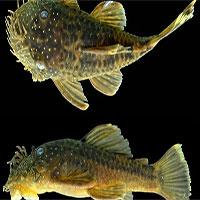 Phát hiện những loài cá xấu xí ở Amazon