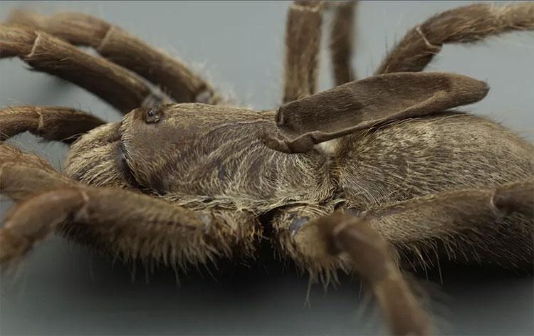 Loài nhện độc Tarantula với cái sừng kì lạ mọc trên lưng mới được phát hiện.