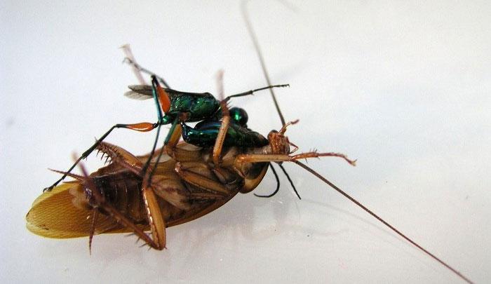 Ấu trùng tò vò nở và sống trong 4-5 ngày trên con gián.