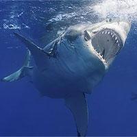 """""""Kho báu"""" chống tuổi già, ung thư trong cơ thể cá mập"""