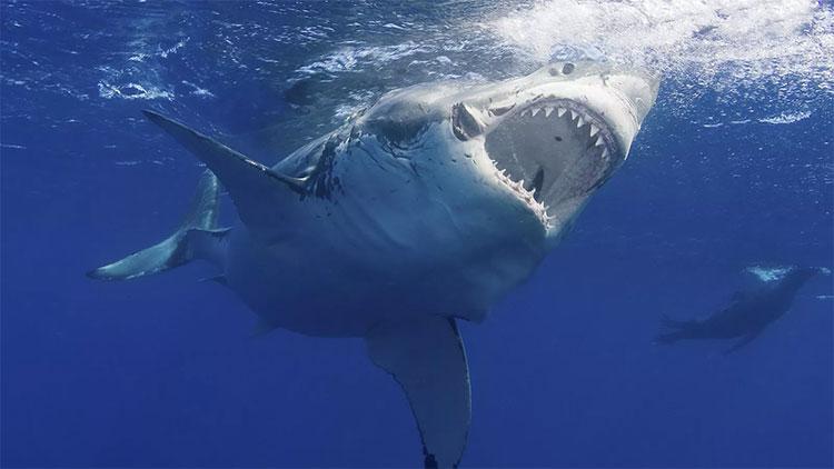 Cá mập trắng có thể nặng đến 3 tấn