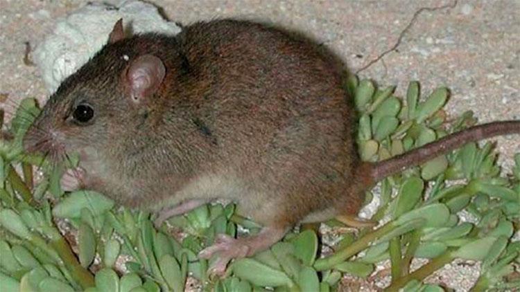 Chuột nâu Úc đã tuyệt chủng vì biến đổi khí hậu