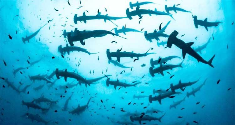 Đàn cá mập búa hàng trăm con ở đảo Darwin phía bắc quần đảo Galapagos