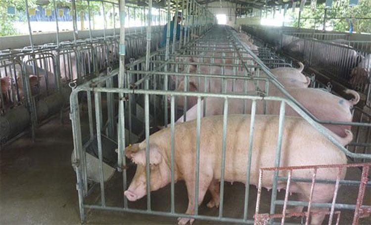 Dịch tả lợn không có khả năng lây sang người khi tiếp xúc, sử dụng sản phẩm