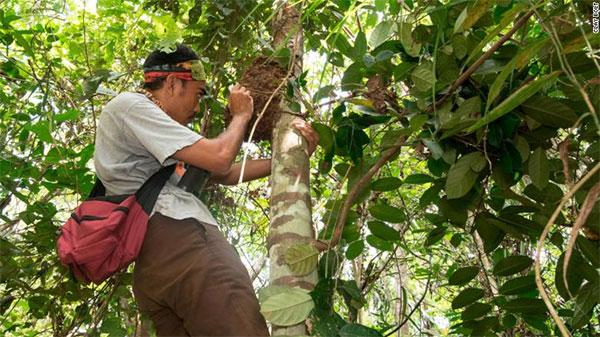 """Một thành viên trong đội hướng dẫn viên đã trèo lên cây để khám phá tổ ong """"khả nghi""""."""
