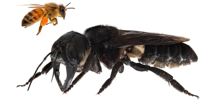 Hình ảnh ong khổng lồ Wallace.