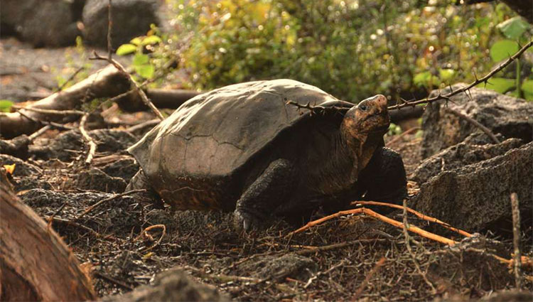 Loài rùa này vốn được cho là đã tuyệt chủng từ hơn 100 năm trước