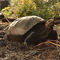 """Rùa khổng lồ tưởng tuyệt chủng 100 năm trước nay lại """"tái xuất giang hồ"""""""