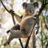 """Gấu Koala trở thành """"ngôi sao mạng xã hội"""" nhờ dáng ngồi sexy"""