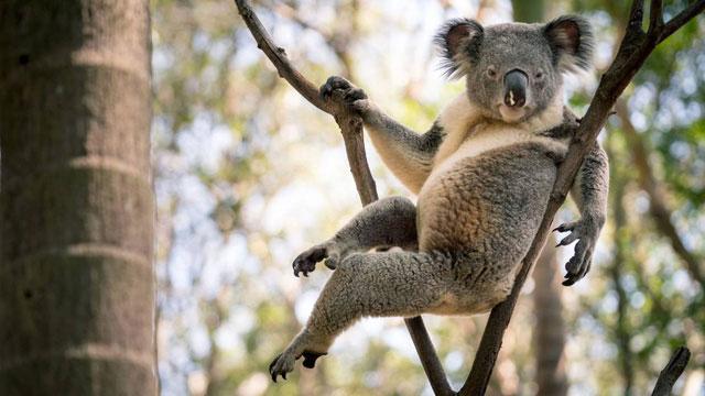 Dáng ngồi hết sức khêu gợi của chú gấu Koala đực