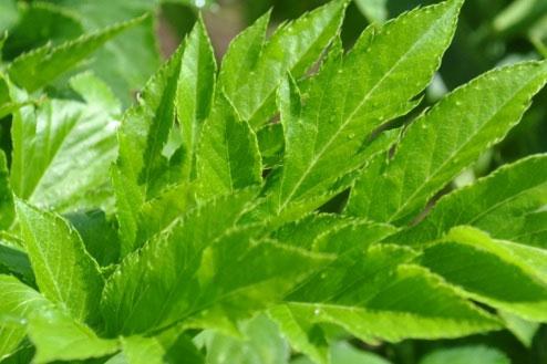 Ashitaba là một loài thực vật đặc hữu của khu vực các bán đảo Bōsō, Miura, Izu.