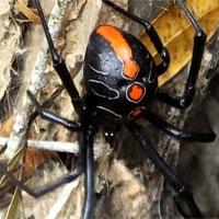 """Phát hiện họ hàng mới của nhện """"Góa phụ đen"""" có kích thước khổng lồ"""