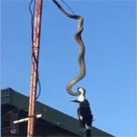 Trăn treo ngược trên cột ăng ten siết chết chim