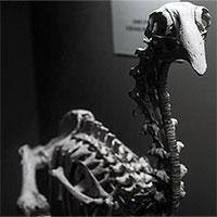 """Bí ẩn loài chim """"khổng lồ"""" của New Zealand"""
