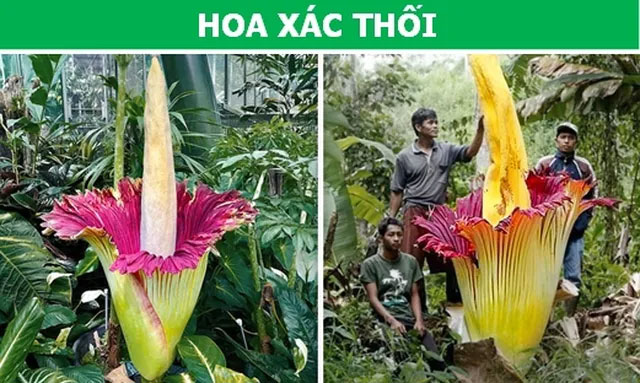 Cây hoa xác thối