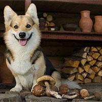 Chó có ăn được nấm không?