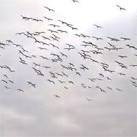 Cảnh tượng độc đáo: Hàng trăm con chim điên lao mình xuống nước