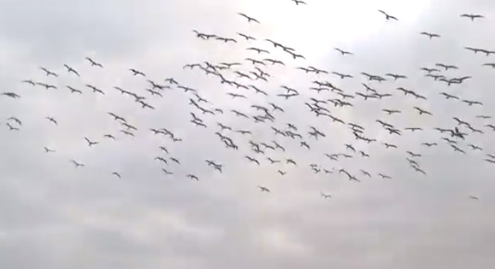 Chim điên chân xanh lao xuống nước bắt cá