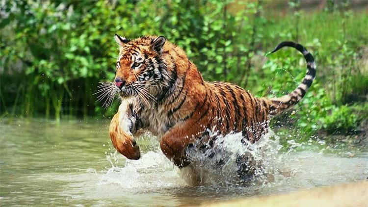 Hổ Bengal còn sở hữu khả năng bơi vô địch.