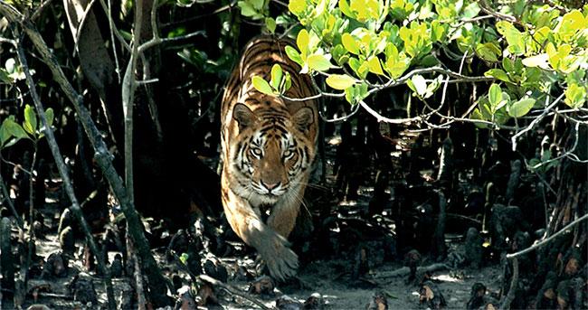 Hổ Bengal điển hình bởi sắc lông màu cam hoặc nâu sáng với những vằn đen đẹp mắt.