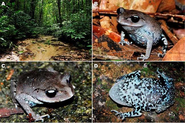 Môi trường sống và ảnh ngoài tự nhiên của loài ếch mới.