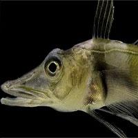 Loài cá kỳ lạ ở Nam Cực khiến các nhà khoa học hoang mang