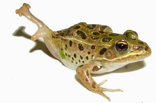 Những con ếch bị ký sinh là con mồi tiềm năng cho thú săn mồi.