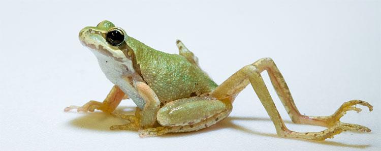 Những con ếch xuất hiện biến dị bất thường.