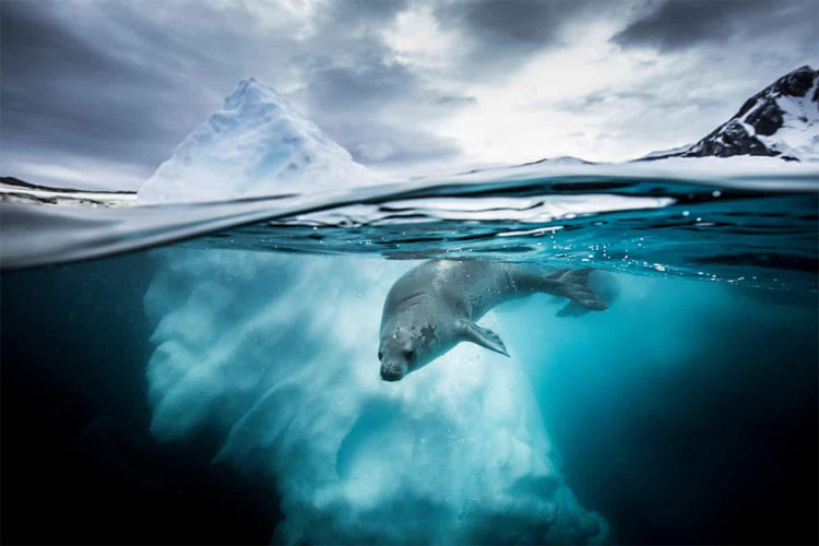 Bức ảnh chụp một cá thể hải cẩu ăn cua tại vịnh Pleneau, bán đảo Nam Cực