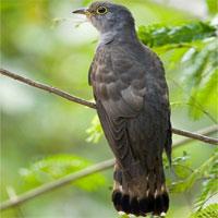 """Sự thật loài chim """"bắt cô trói cột"""" kỳ lạ của Việt Nam"""