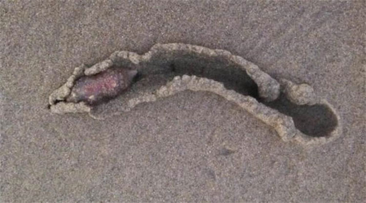 Sinh vật kỳ lạ này nhiều khả năng là hải sâm.