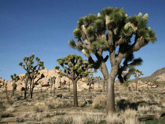 Cây Joshua là thực vật đặc hữu của miền Tây Nam Mỹ.