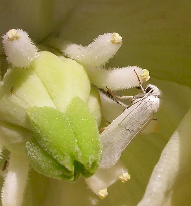 Mỗi con Yucca ghé một bông Joshua sẽ dùng cái miệng kiểu xúc tu của mình mà vo phấn thành những quả bóng tí hon.