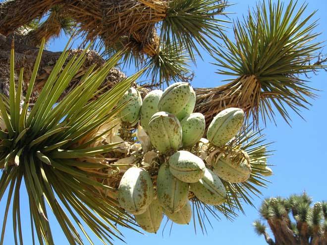 Một cây Joshua có thể sống đến hàng trăm năm, thậm chí là 1000 năm.