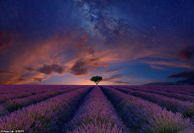 Bầu trời hoàng hôn phủ bóng trên cánh đồng hoa oải hương tím lãng mạn ở Valensole, Pháp