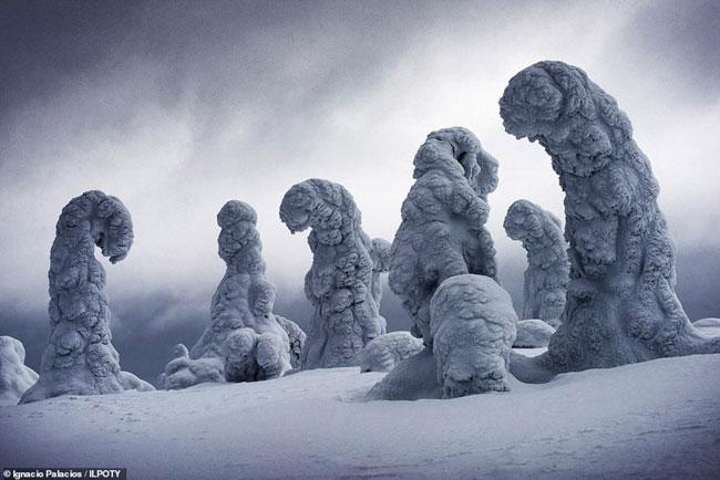 Thân cây bị băng tuyết đông cứng ở Lapland, Phần Lan.