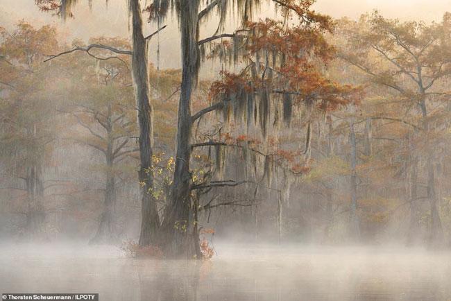 Thân cây với những tán cây dài trông như một bộ râu kỳ lạ, mờ ảo trong màn sương mù.