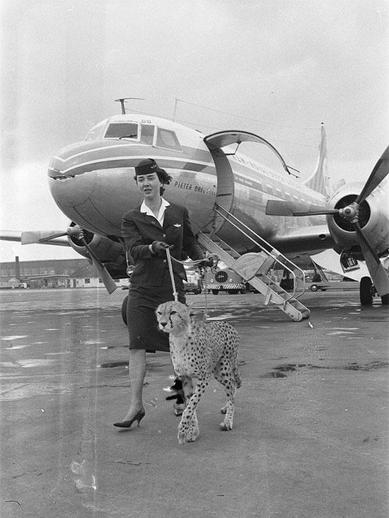 Một tiếp viên đưa một con báo đi dạo tại sân bay Amsterdam năm 1961.