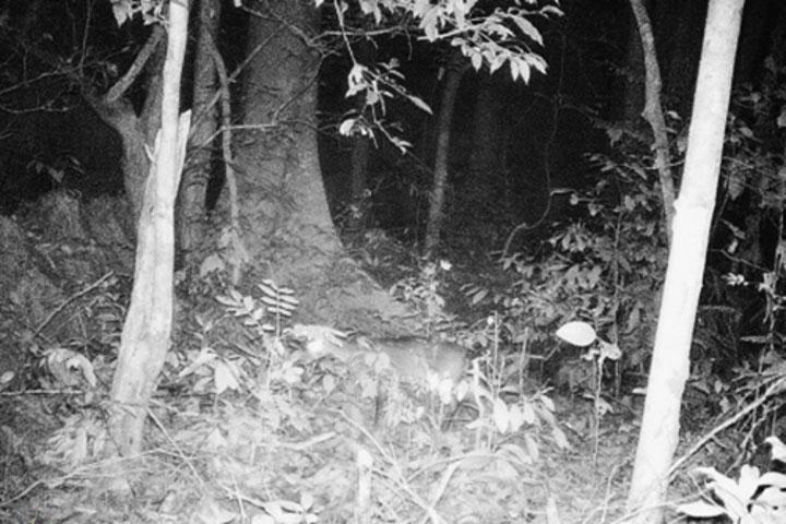 Hình ảnh loài nghi Sao la được ghi lại ở Vườn quốc gia Phong Nha - Kẻ Bàng.