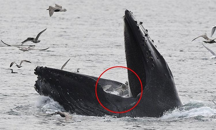 Những con hải âu xấu số không thoát khỏi miệng rộng của cá voi lưng gù.