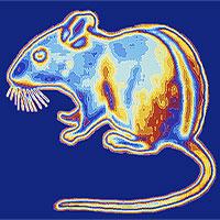 """Tạo ra """"siêu chuột"""" nhìn xuyên màn đêm: Tưởng khoa học rảnh nhưng mọi chuyện đều có lý do"""