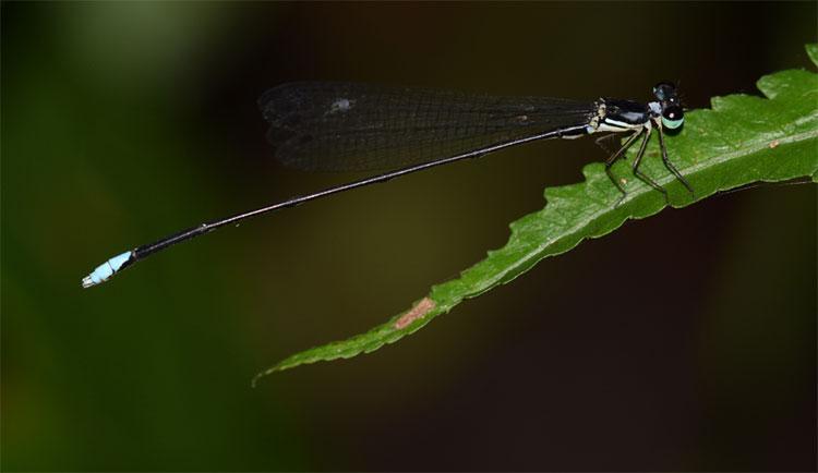 Hình ảnh con đực Coeliccia schorri.