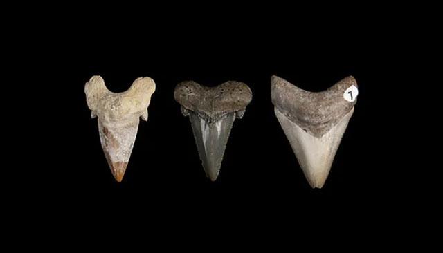 Răng của các loài cá mập tiền sử có nhiều sự thay đổi trong hàng chục triệu năm tiến hoá.